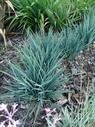 Dianella Revoluta Baby Bliss Plant By Ozbreed Selector