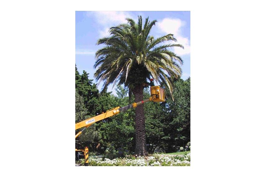 Trimming of Phoenix palms